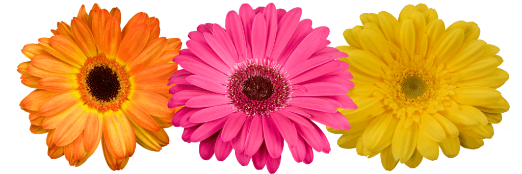 gerberas � ensign wholesale floral